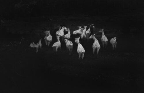 Ilaria Ferretti Goats