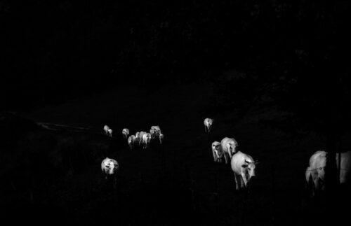 Ilaria Ferretti Cows