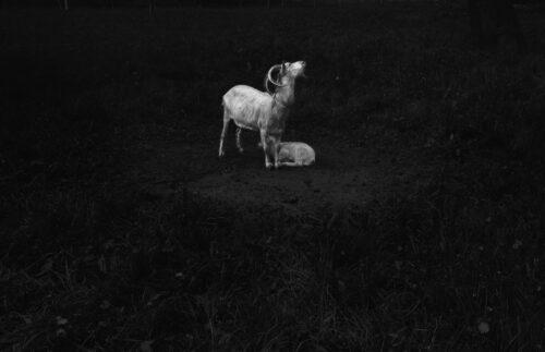 Ilaria Ferretti Goats Maternity