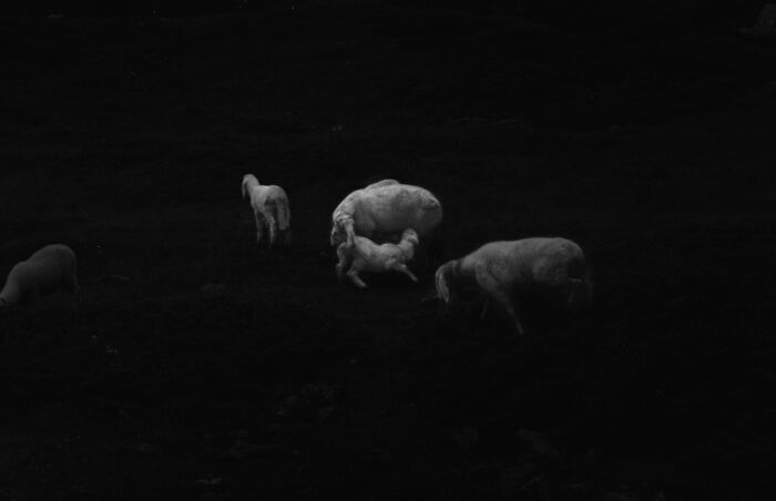 Ilaria Ferretti Sheep Maternity