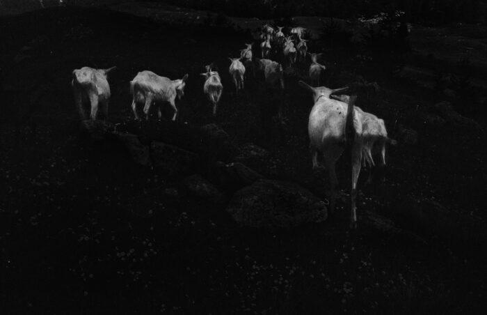 Ilaria Ferretti Goats Herd